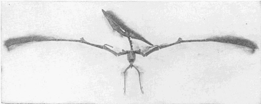 Pterodactyl Skull A pterodactyl